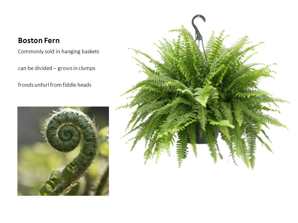 Boston Fern Commonly sold in hanging baskets