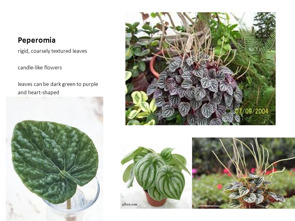 Peperomia rigid, coarsely textured leaves candle-like flowers