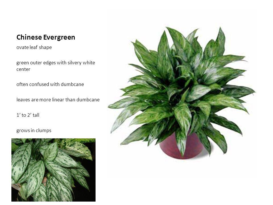 Chinese Evergreen ovate leaf shape