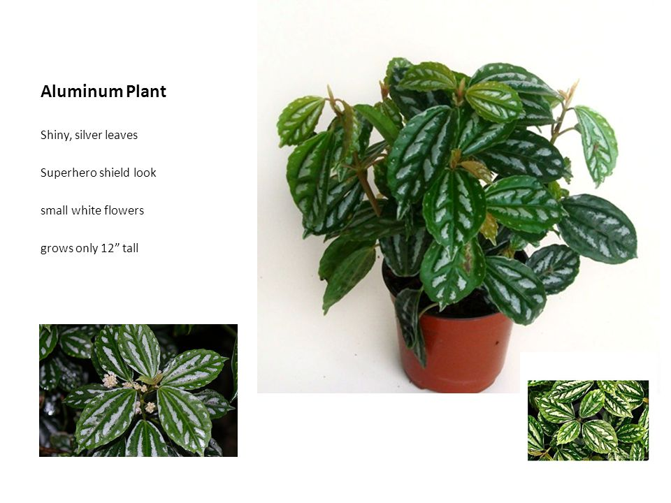Aluminum Plant Shiny, silver leaves Superhero shield look