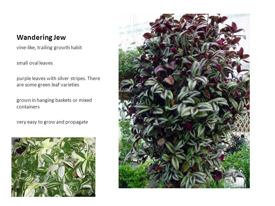 Wandering Jew vine-like, trailing growth habit small oval leaves