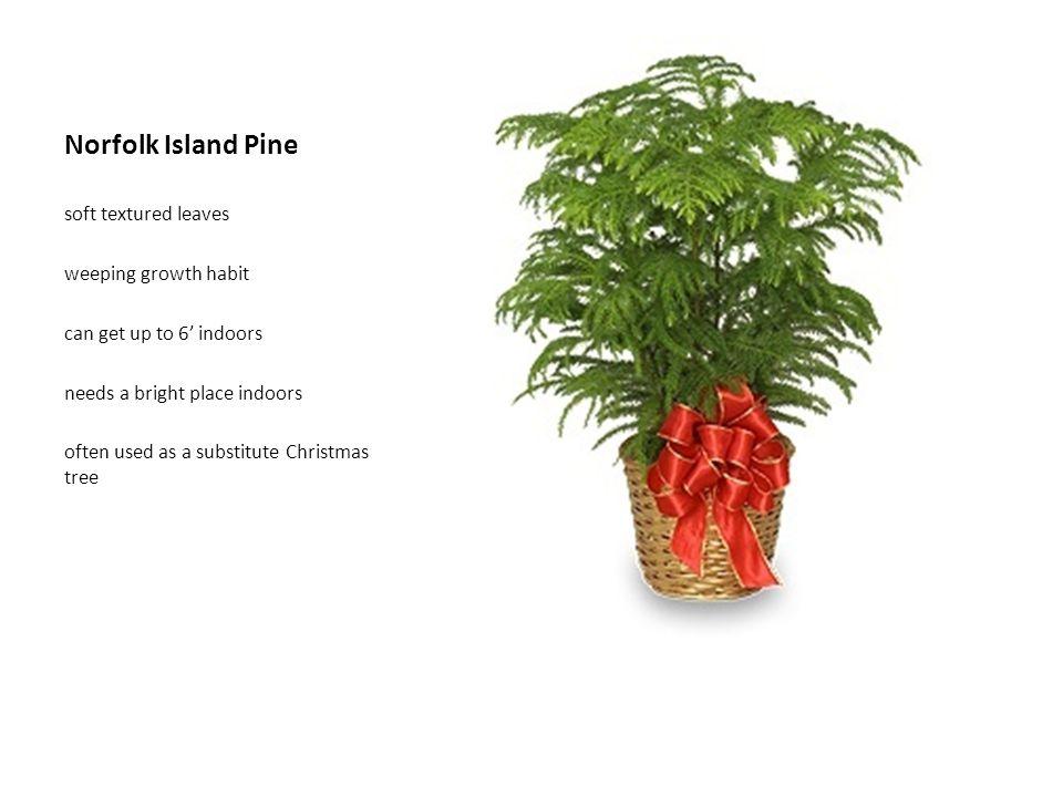 Norfolk Island Pine soft textured leaves weeping growth habit