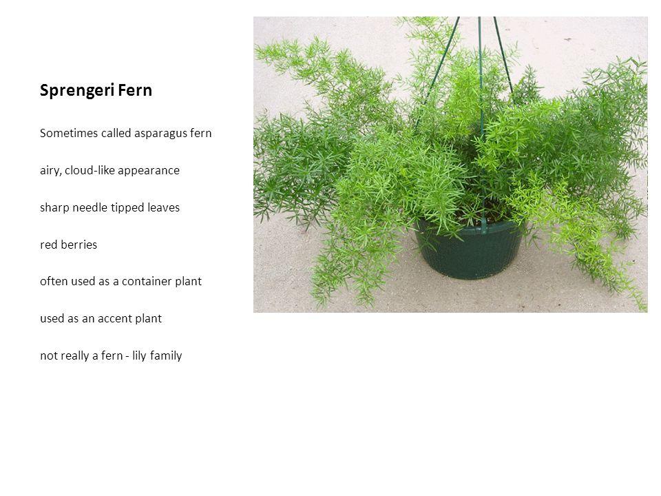 Sprengeri Fern Sometimes called asparagus fern