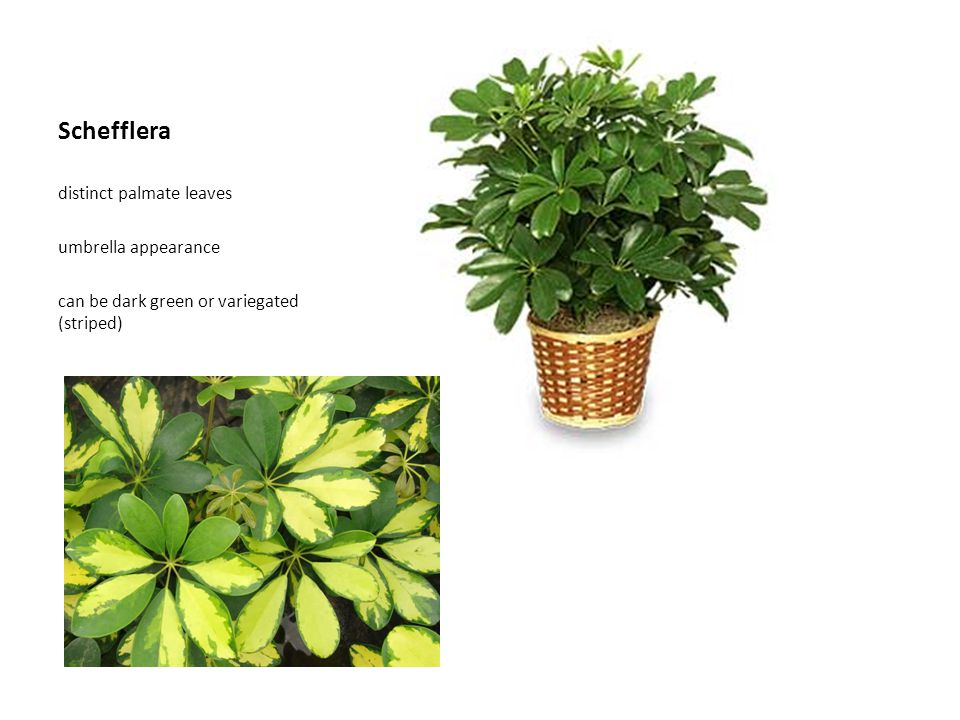 Schefflera distinct palmate leaves umbrella appearance