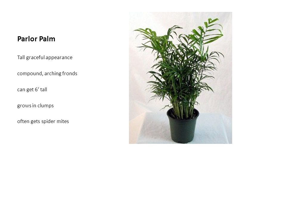 Parlor Palm Tall graceful appearance compound, arching fronds