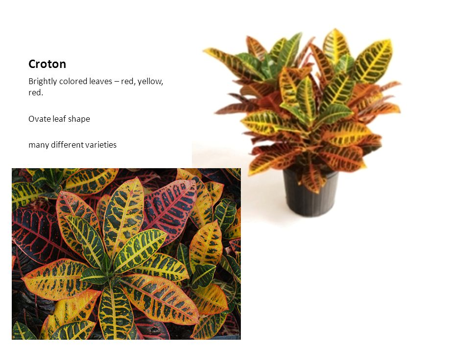 Croton Brightly colored leaves – red, yellow, red. Ovate leaf shape