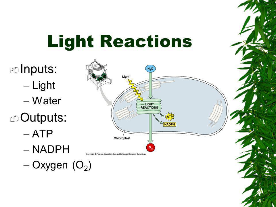 Light Reactions Inputs: Light Water Outputs: ATP NADPH Oxygen (O2)