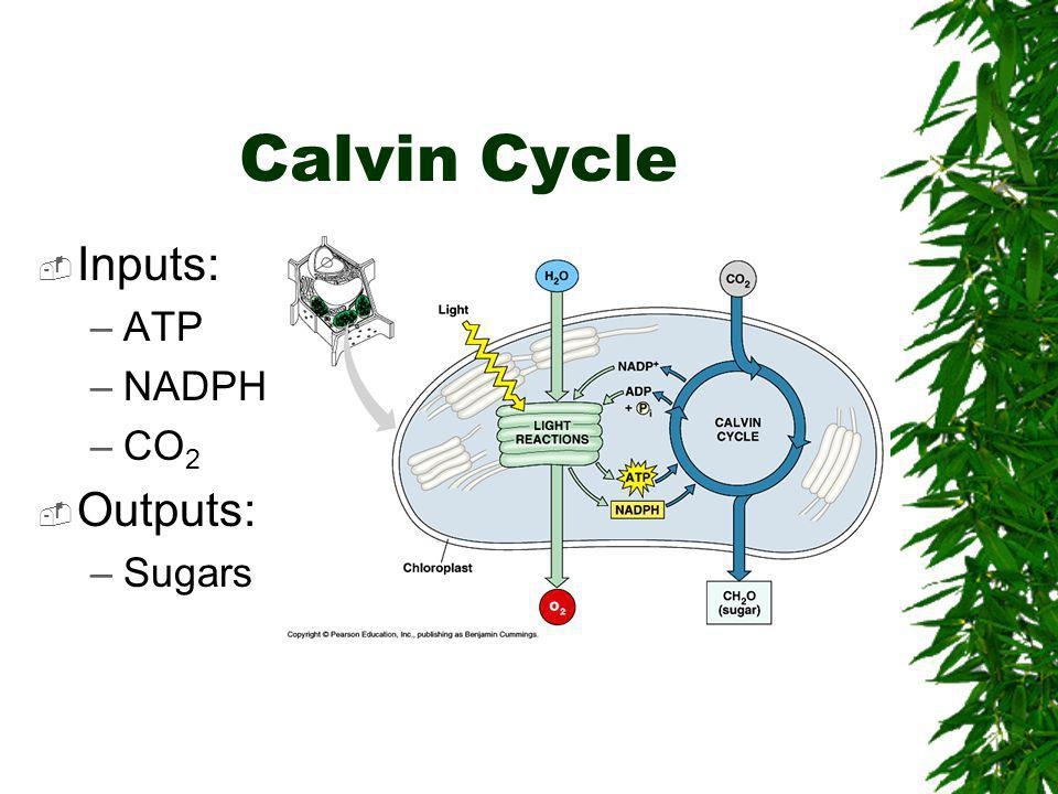 Calvin Cycle Inputs: ATP NADPH CO2 Outputs: Sugars
