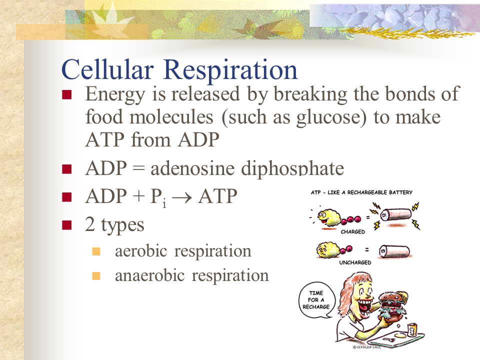 Cellular Respiration Energy is released by breaking the bonds of food molecules (such as glucose) to make ATP from ADP.