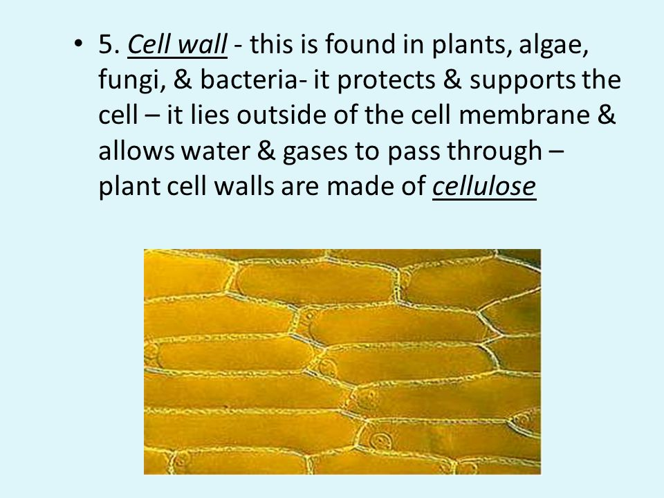 5. Cell wall - this is found in plants, algae, fungi, & bacteria- it protects & supports the cell – it lies outside of the cell membrane & allows water & gases to pass through – plant cell walls are made of cellulose