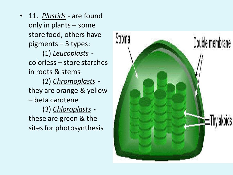 11. Plastids - are found only in plants – some store food, others have pigments – 3 types: (1) Leucoplasts - colorless – store starches in roots & stems (2) Chromoplasts - they are orange & yellow – beta carotene (3) Chloroplasts - these are green & the sites for photosynthesis