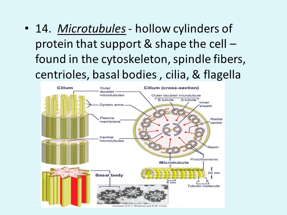 14. Microtubules - hollow cylinders of protein that support & shape the cell – found in the cytoskeleton, spindle fibers, centrioles, basal bodies , cilia, & flagella