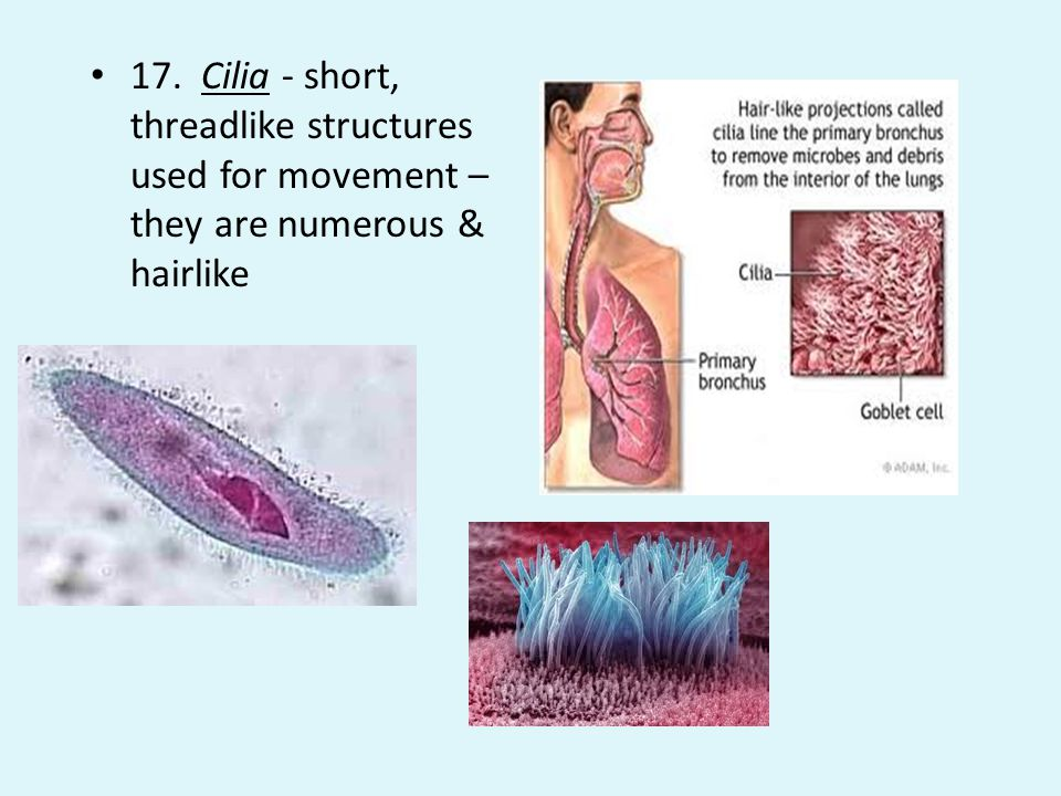 17. Cilia - short, threadlike structures used for movement – they are numerous & hairlike