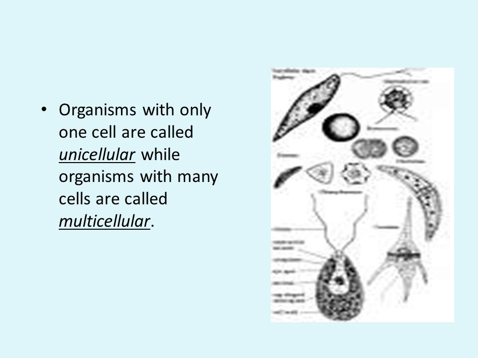 Organisms with only one cell are called unicellular while organisms with many cells are called multicellular.