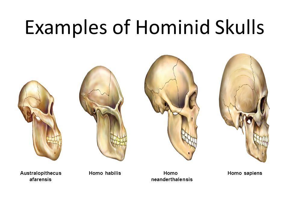 Examples of Hominid Skulls