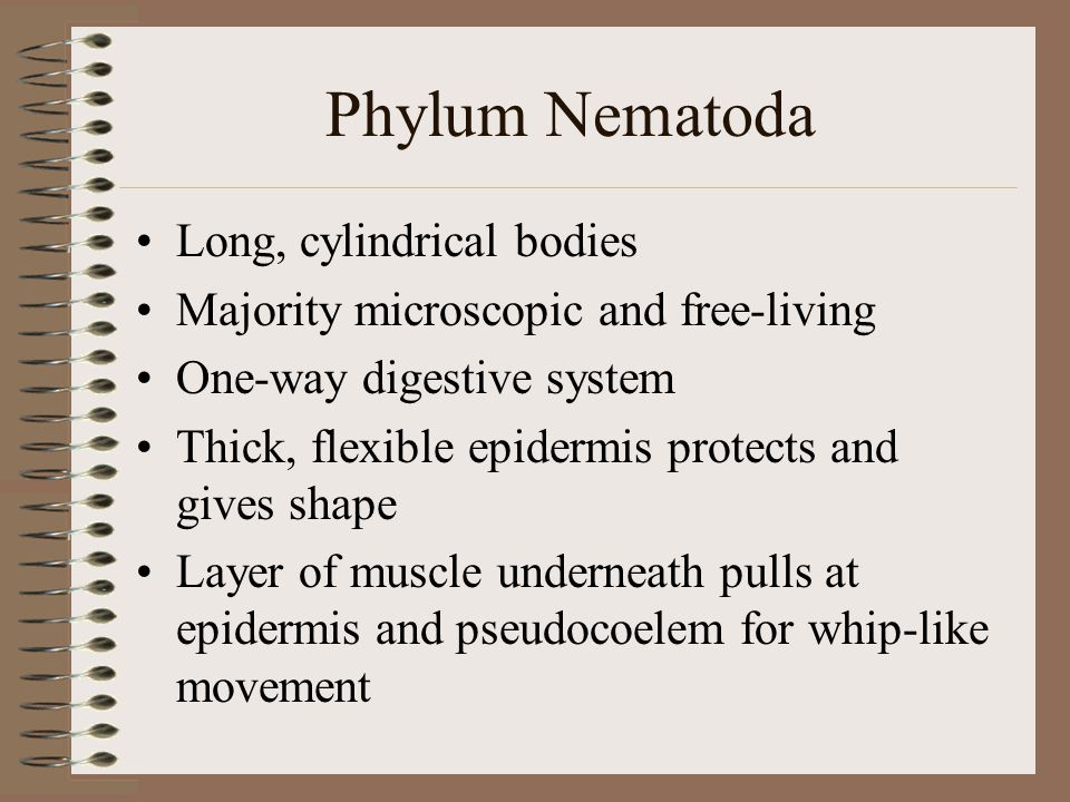 Phylum Nematoda Long, cylindrical bodies