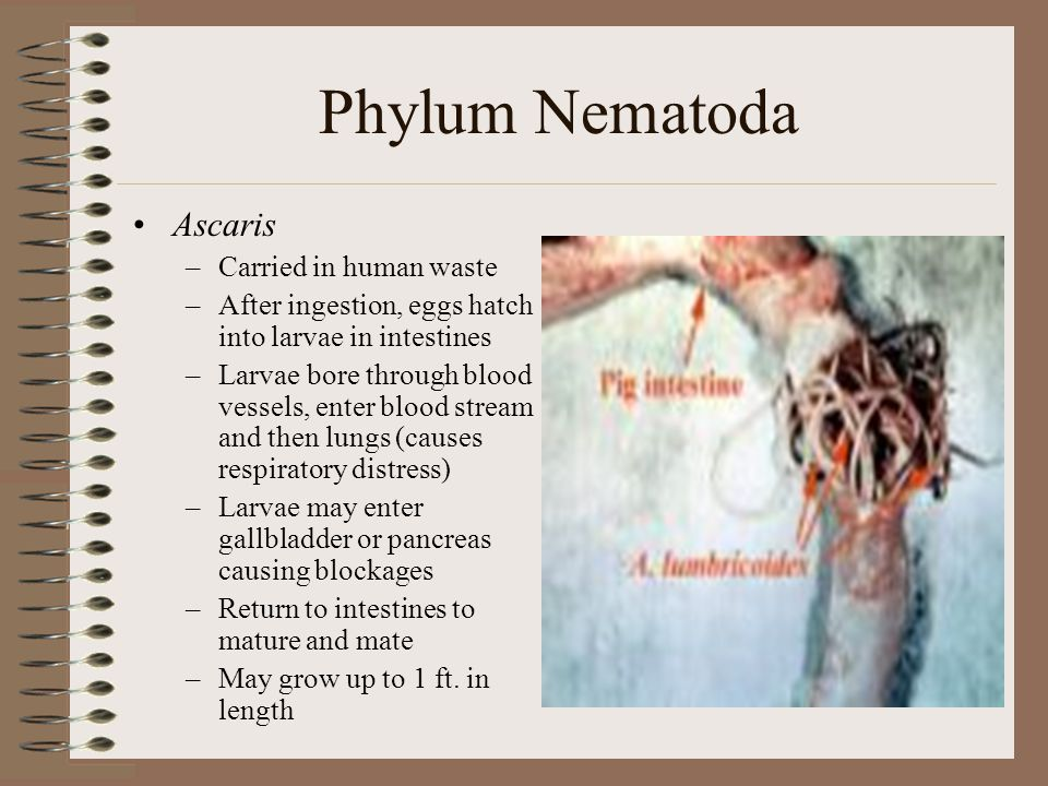 Phylum Nematoda Ascaris Carried in human waste