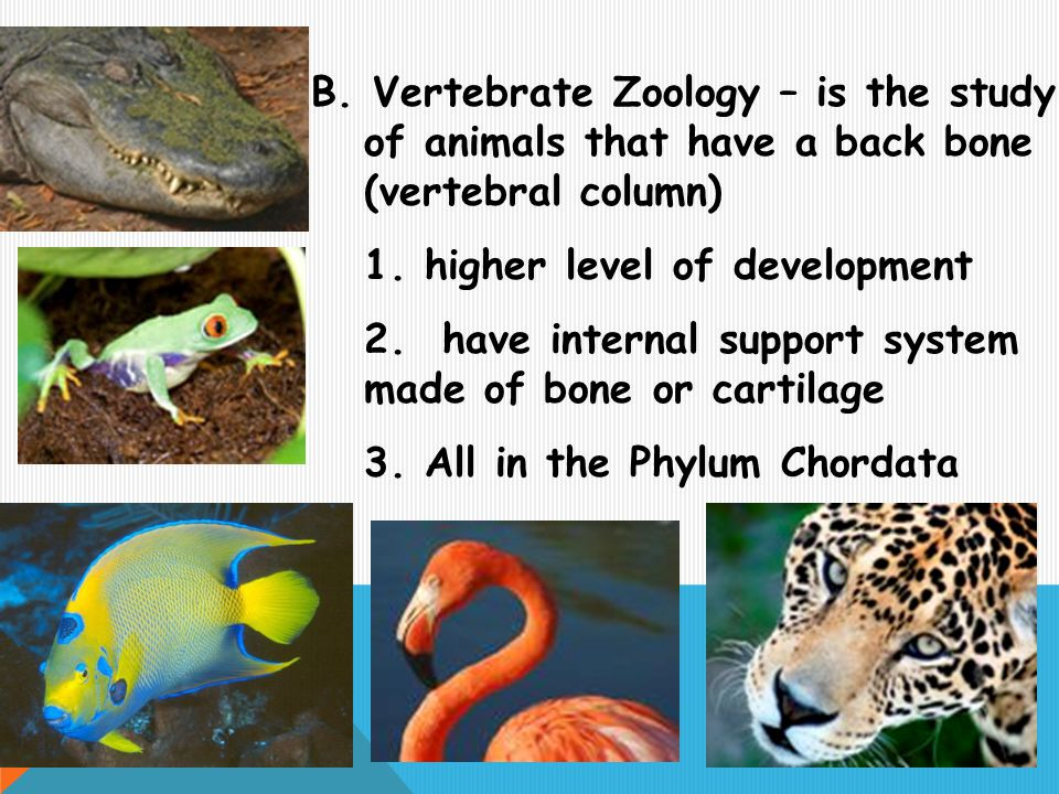 B. Vertebrate Zoology – is the study of animals that have a back bone (vertebral column)