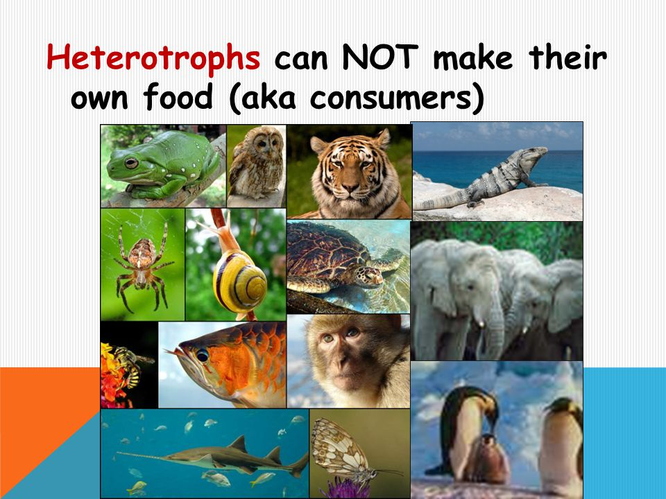 Heterotrophs can NOT make their own food (aka consumers)
