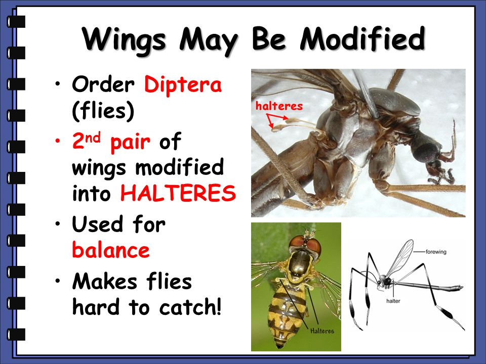 Wings May Be Modified Order Diptera (flies)