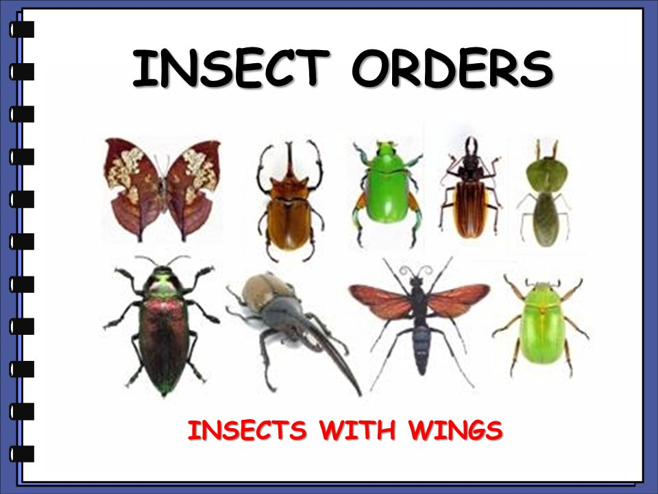 INSECT ORDERS INSECTS WITH WINGS