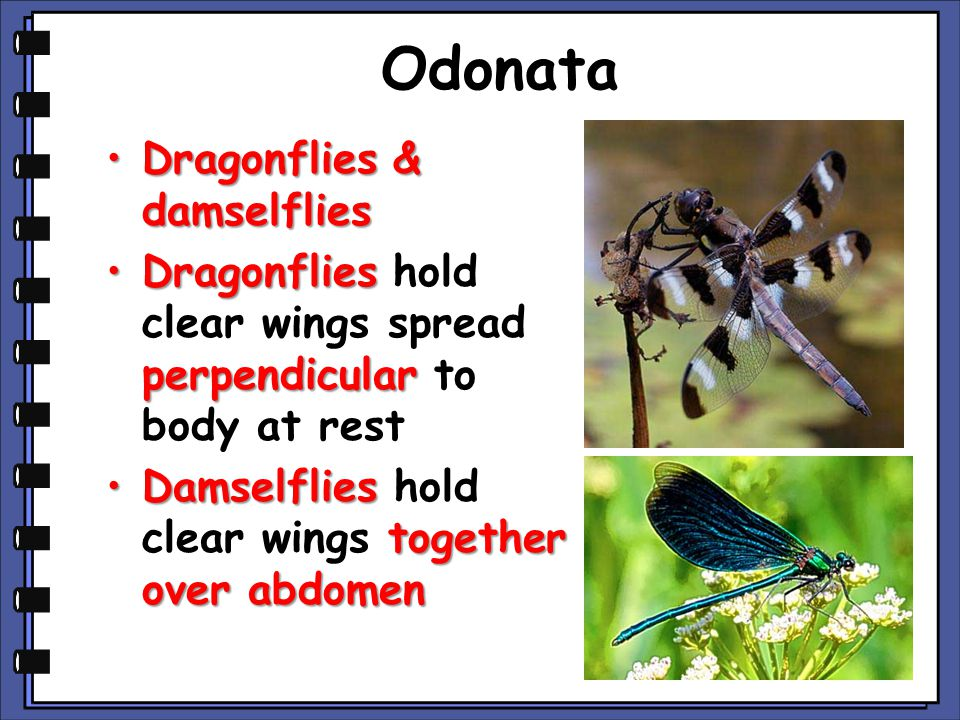 Odonata Dragonflies & damselflies