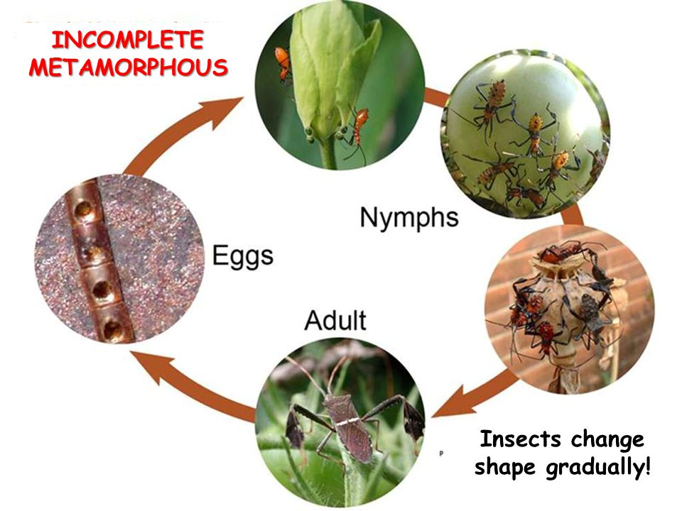 INCOMPLETE METAMORPHOUS Insects change shape gradually!