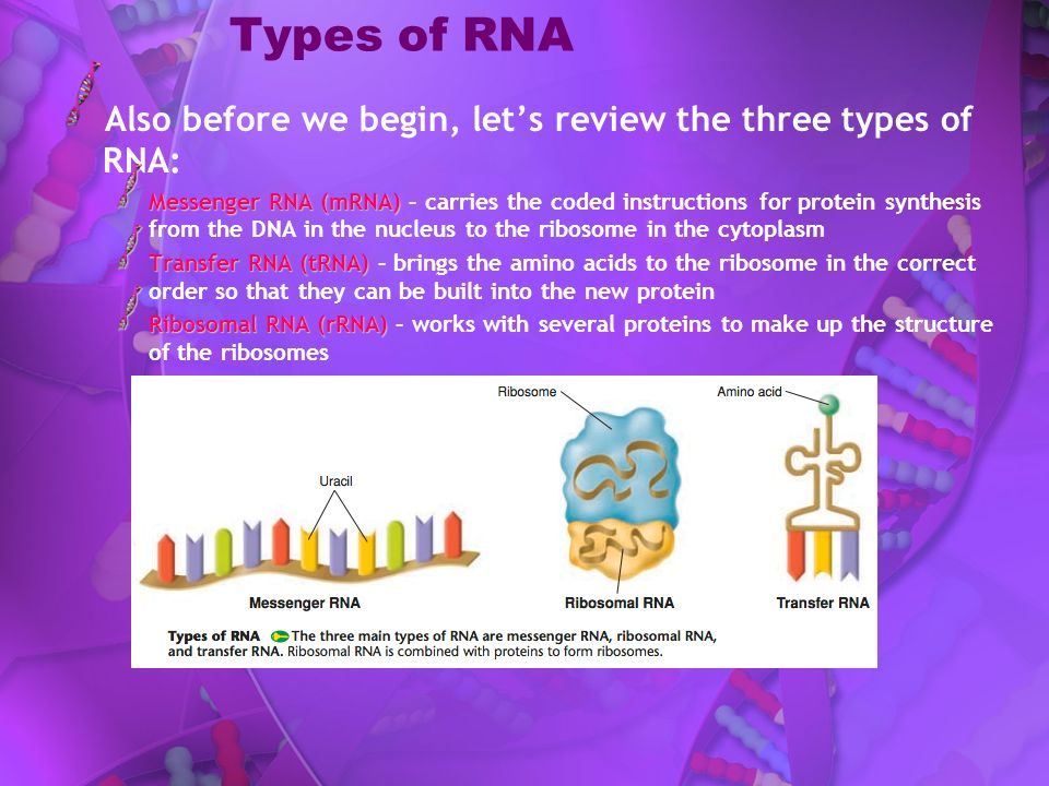 Types of RNA Also before we begin, let's review the three types of RNA: