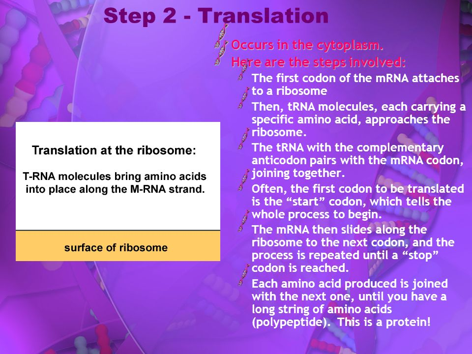 Step 2 - Translation Occurs in the cytoplasm.