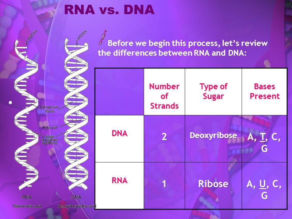 RNA vs. DNA 2 A, T, C, G 1 Ribose A, U, C, G