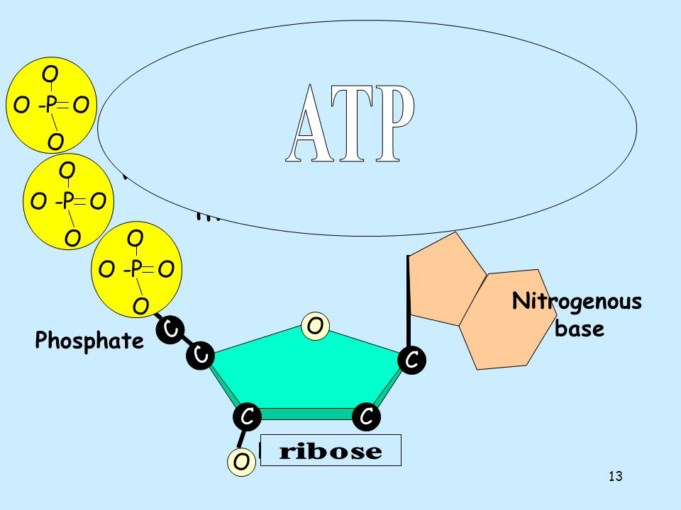 Nucleotides O -P O. O. ATP. One deoxyribose together with its phosphate and base make a nucleotide.