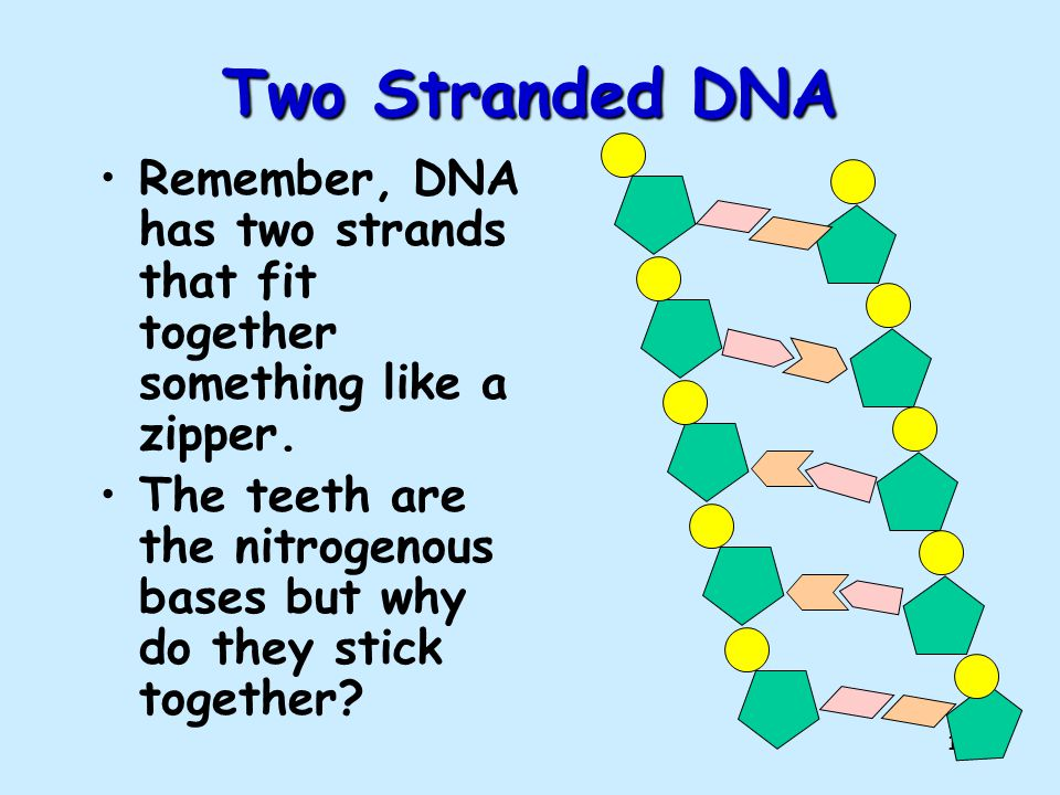 Two Stranded DNA Remember, DNA has two strands that fit together something like a zipper.