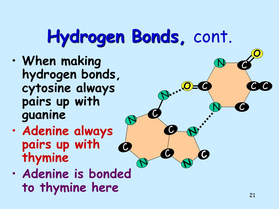 Hydrogen Bonds, cont. C. N. O. When making hydrogen bonds, cytosine always pairs up with guanine.