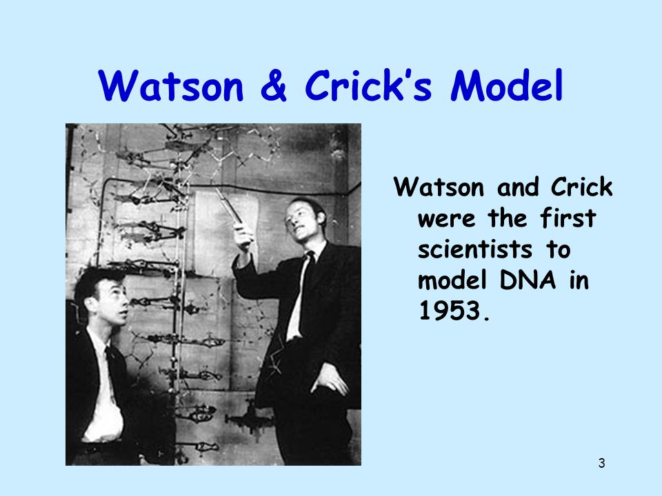 Watson & Crick's Model Watson and Crick were the first scientists to model DNA in 1953.