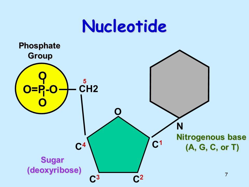 Nucleotide O O=P-O N CH2 O C1 C4 C3 C2 Phosphate Group