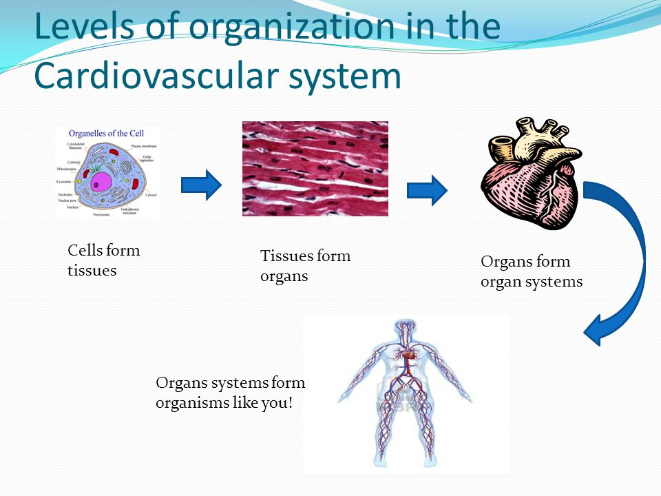 Levels of organization in the Cardiovascular system