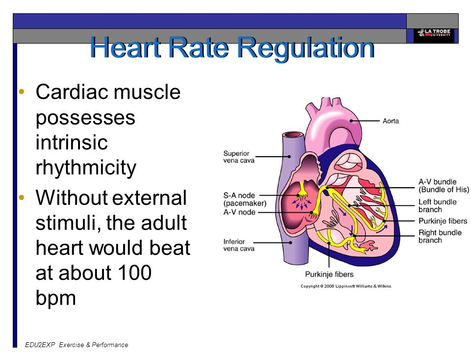 Heart Rate Regulation Cardiac muscle possesses intrinsic rhythmicity