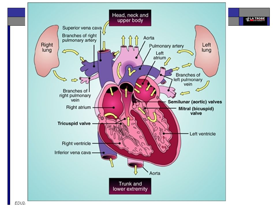 NEED TO KNOW Heart. LHS pic (Blue) right atrium = deoxygenated blood returning from the body.