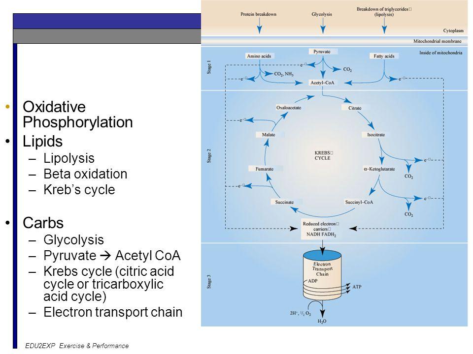 Aerobic Oxidative Phosphorylation Lipids Carbs Lipolysis