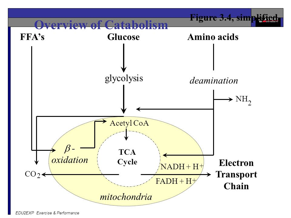 Overview of Catabolism Electron Transport Chain