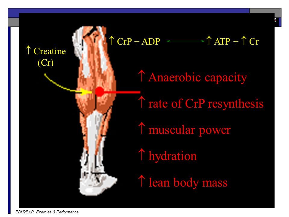  rate of CrP resynthesis  muscular power  hydration