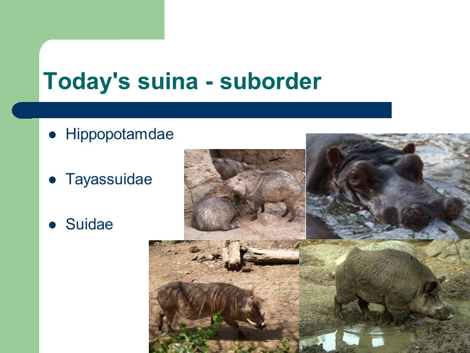 Today s suina - suborder