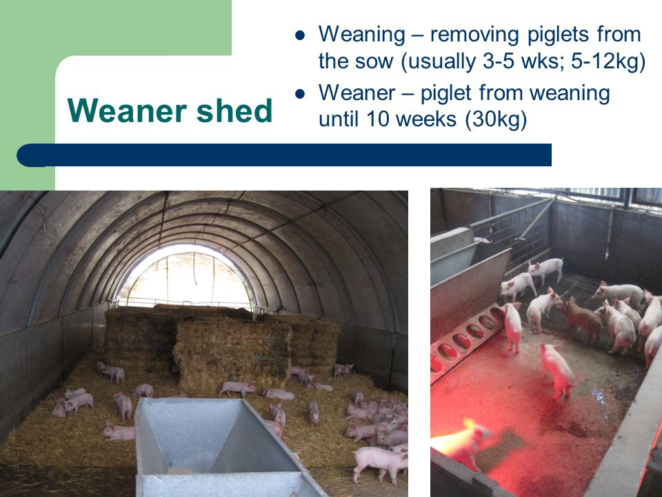 Weaning – removing piglets from the sow (usually 3-5 wks; 5-12kg)