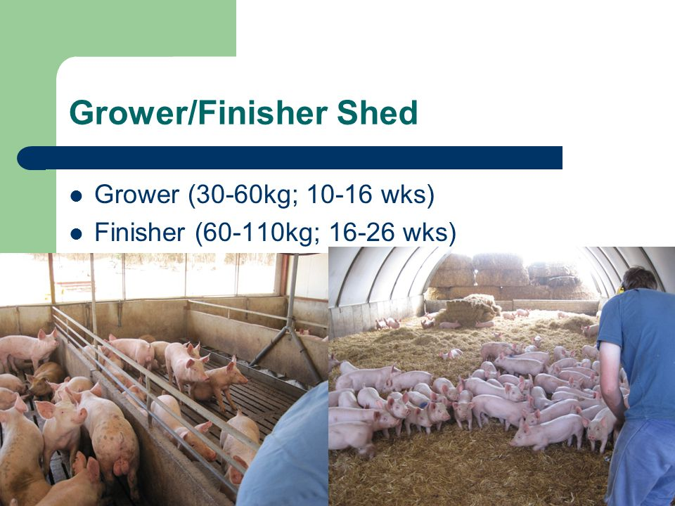 Grower/Finisher Shed Grower (30-60kg; 10-16 wks)