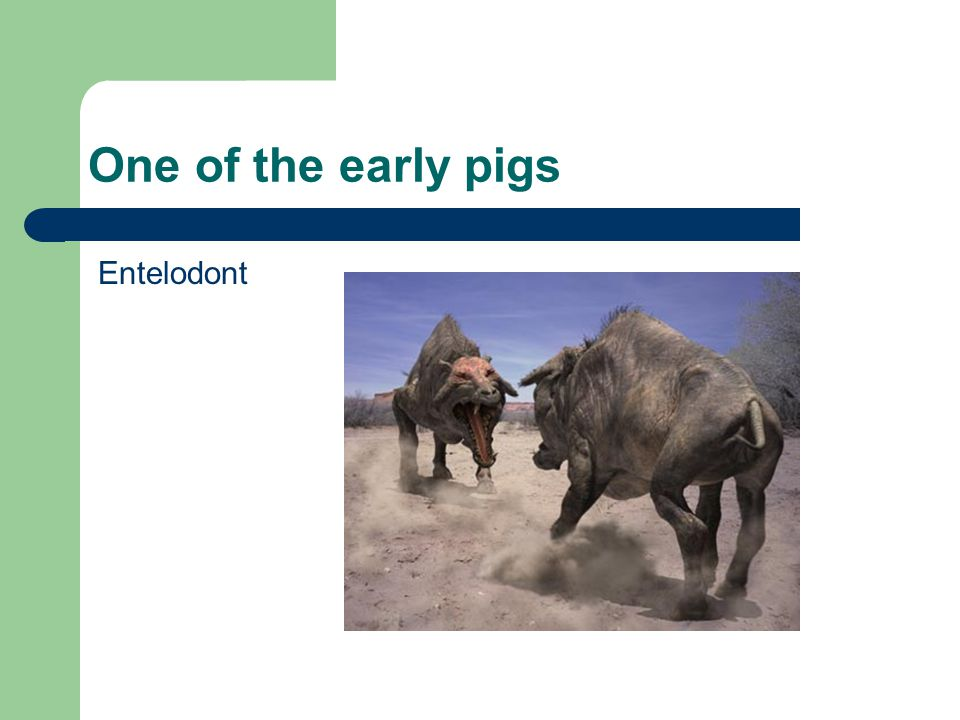 One of the early pigs Entelodont