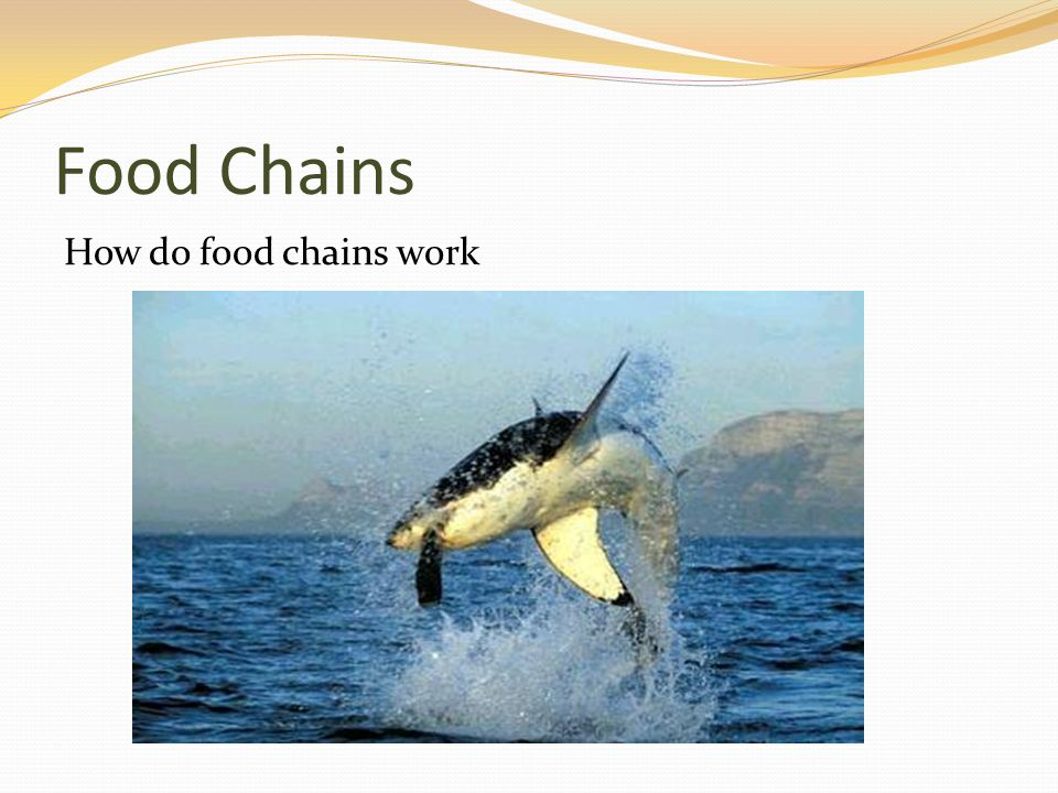 Food Chains How do food chains work