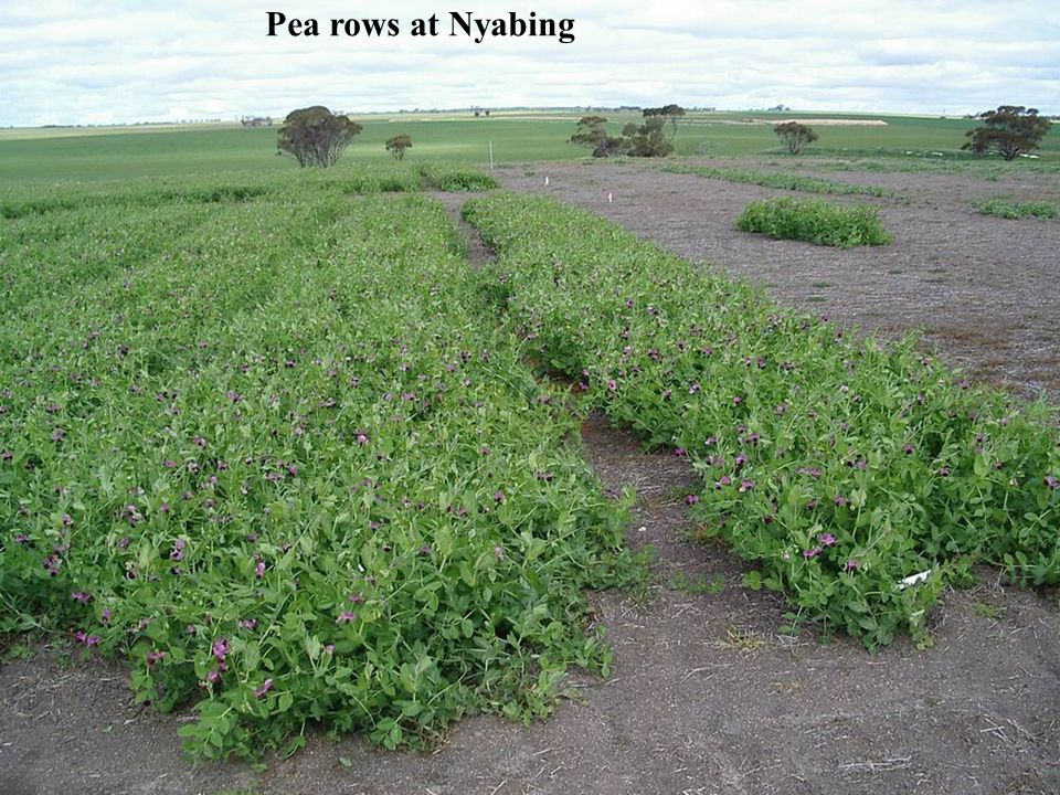 Pea rows at Nyabing