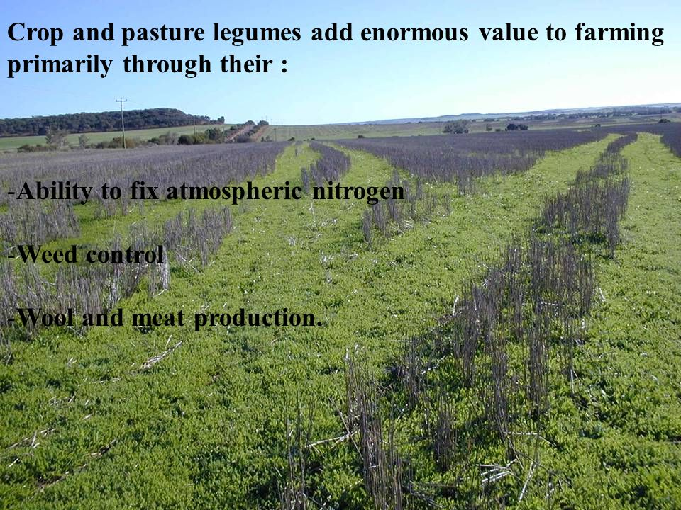 Crop and pasture legumes add enormous value to farming