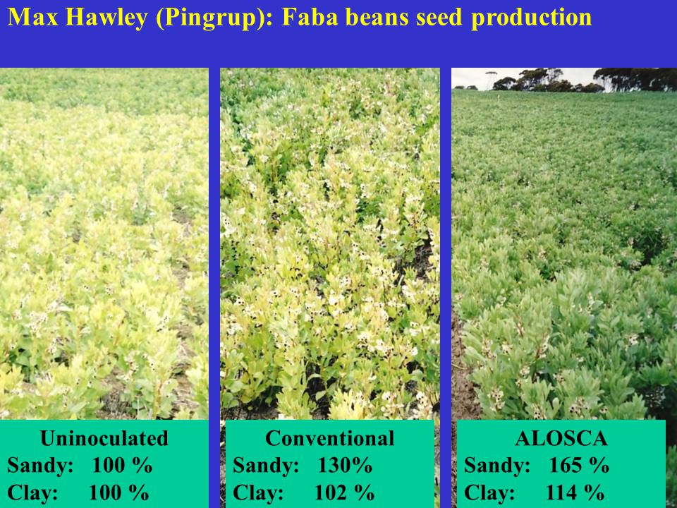 Max Hawley (Pingrup): Faba beans seed production