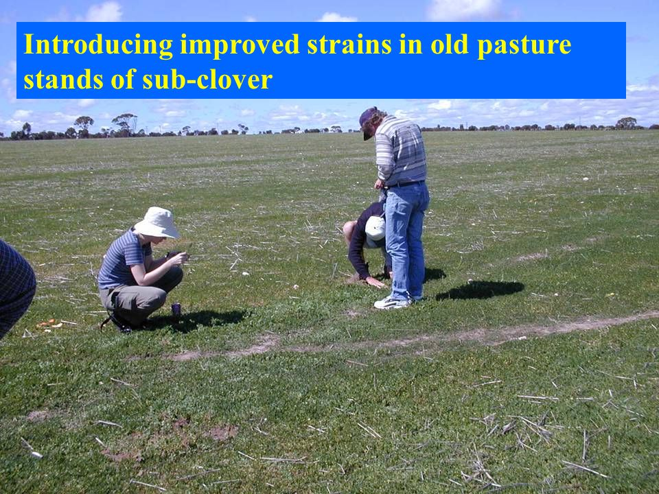 Introducing improved strains in old pasture stands of sub-clover